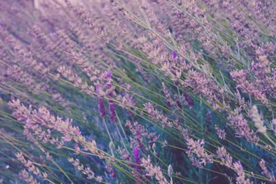 organic perfume lavender