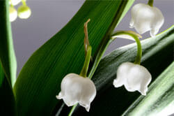 lily of the valley muguet