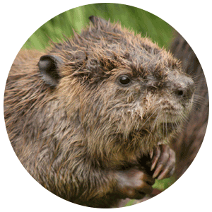 beaver castoreum