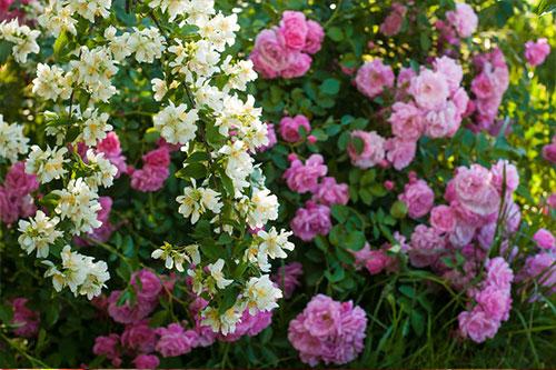 rose jasmine perfume